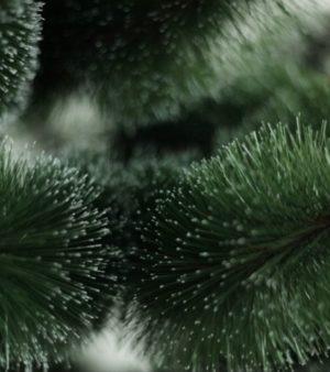 Сосна Сніжинка Європейська 1.8м