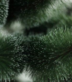 Сосна Сніжинка Європейська 2.5м
